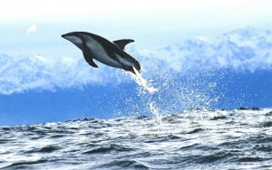 dusky-dolphin_new-zealand